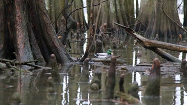 A lose decoy on Reelfoot Lake, which hunters were looking for when they found David Vowell.