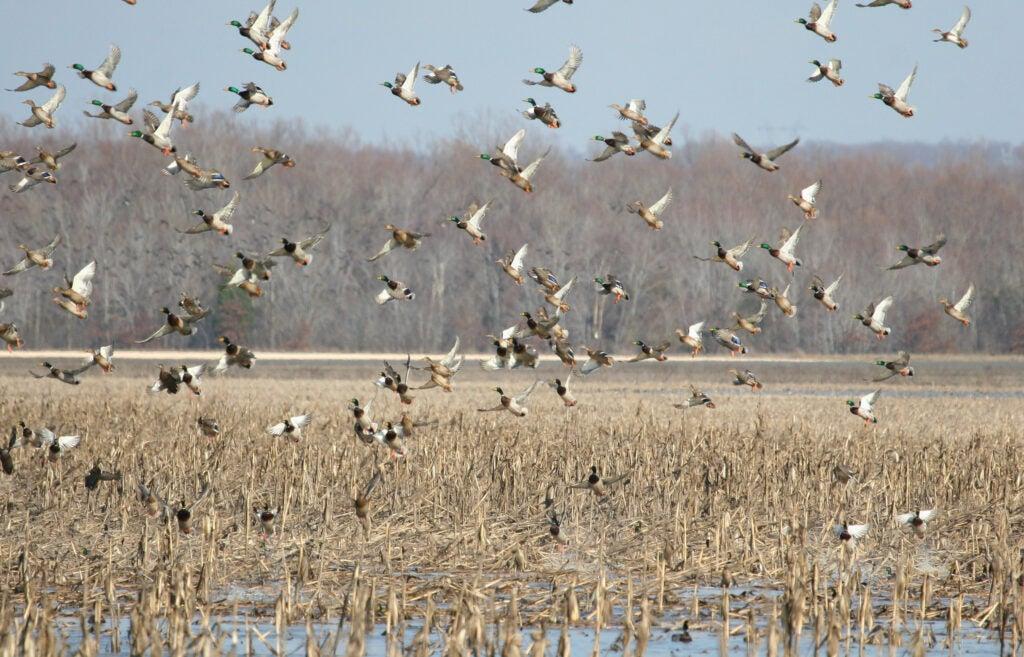 Ducks flying at Reelfoot National Wildlife Refuge