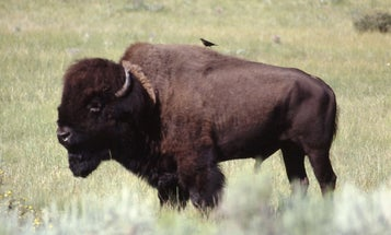 The NPS Is Seeking Skilled Volunteers to Help Cull Bison in Grand Canyon National Park