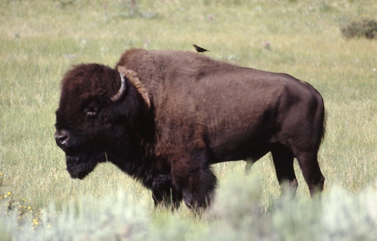 Hunters will be allowed to shoot one bison in Grand Canyon National Park this fall.