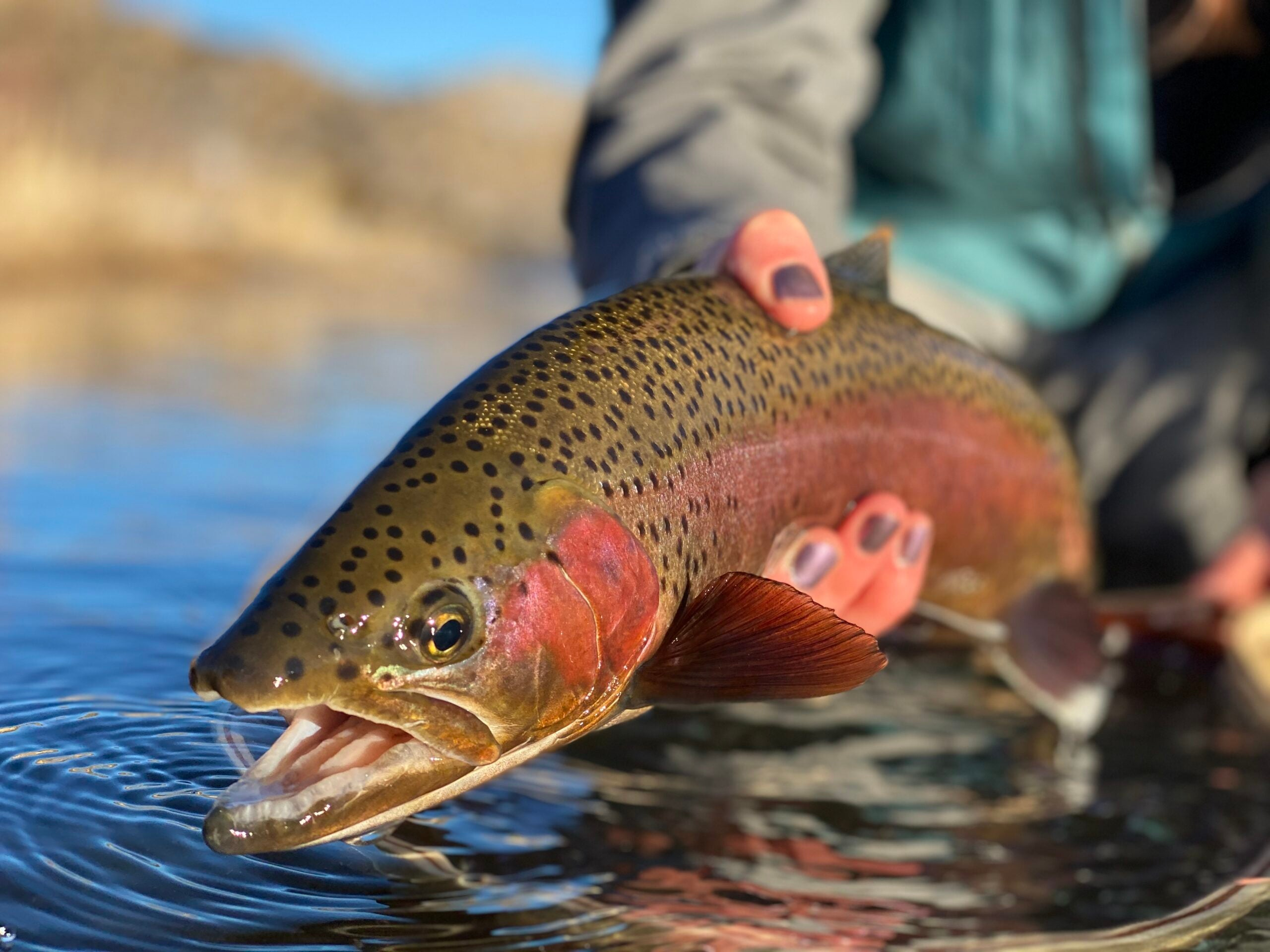 An angler holds a red rainbow trout caught during the spawn.