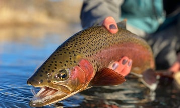 The Ethics of Fishing for Spawning Trout