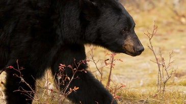 A black bear attack in Colorado led authorities to euthanize three bears.