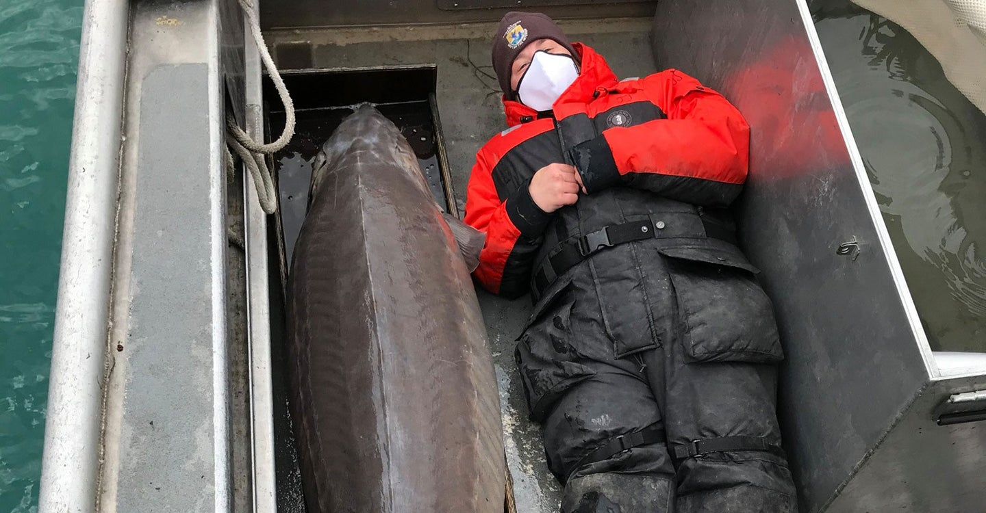 A 240-Pound, Century-Old Lake Sturgeon Was Caught in the Detroit River
