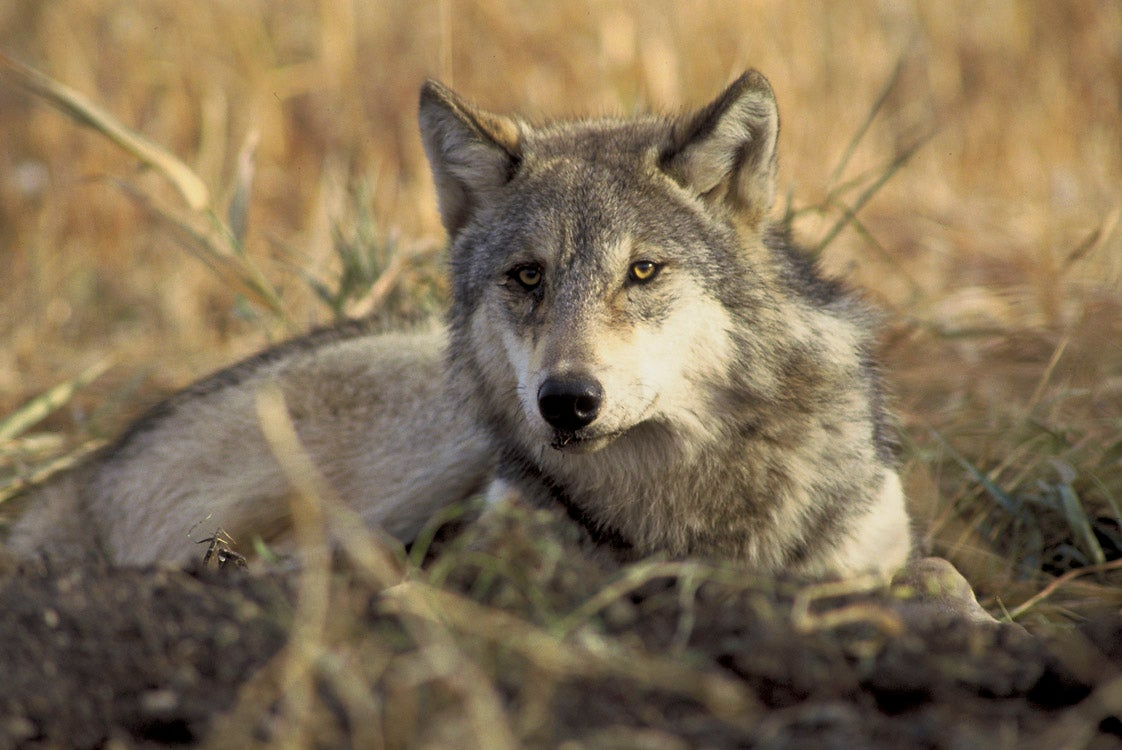 Idaho wolf hunting will be expanded thanks to a controversial new law.