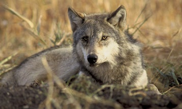 New Law Expands Idaho Wolf Take to 90 Percent of Population, Loosens Regs