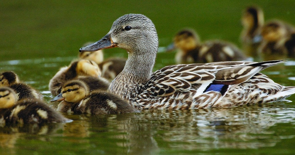 The 2021 Waterfowl Breeding Survey was canceled again due to Covid-19 concerns.