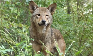 8 Red Wolves Released In North Carolina