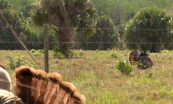 Confessions of a Belly Crawler: Late-Season Turkey Hunters Who Adapt Have Better Success