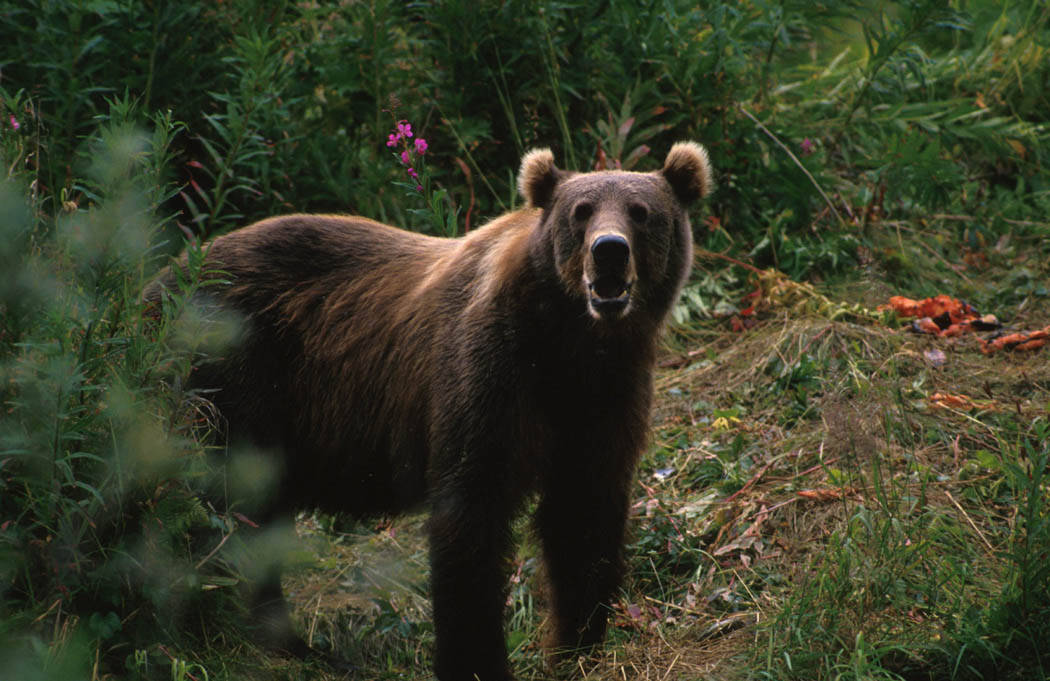 An Alaskan brown bear charged and attacked a surveyor.