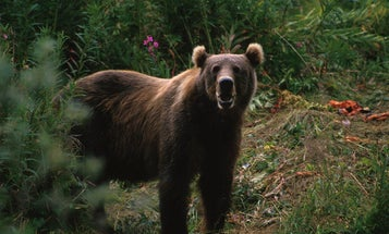 An Alaskan Real Estate Surveyor Was Nearly Killed in a Brown Bear Attack