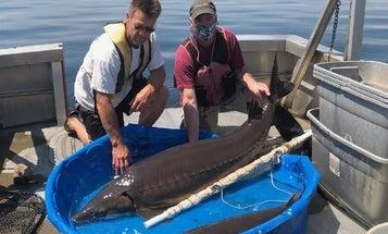 New York Biologists Net 159-Pound Record Sturgeon at Oneida Lake