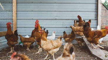 Multiple chickens walking around in a coop