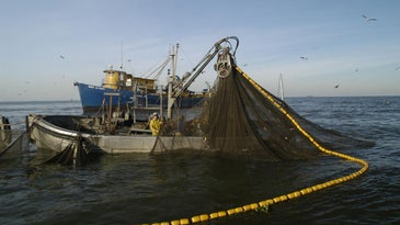 Commercial menhaden ships may be prohibited from fishing half a mile from the Louisiana coast.