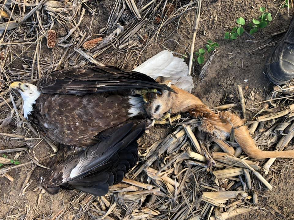 Hunter finds dead bald eagle with a deer head in its talons.