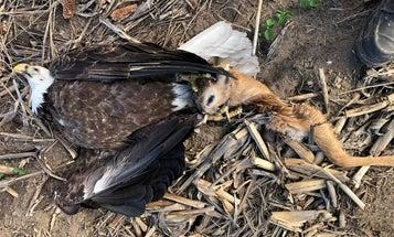 Wisconsin Turkey Hunter Finds a Dead Bald Eagle, Deer Head Still Gripped in Its Talons