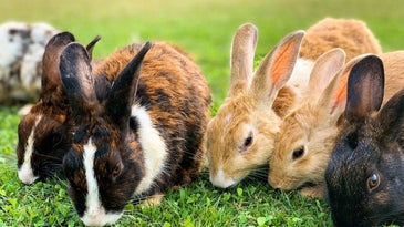 Five rabbits together eating grass