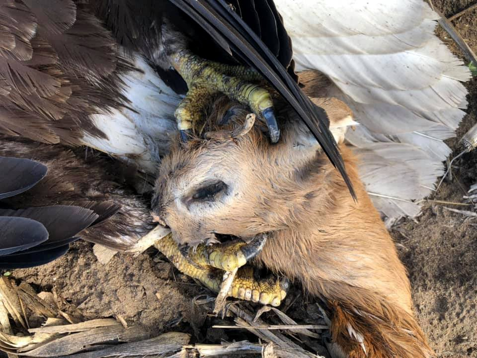 A dead bald eagle was found with a young deer head in its talons.