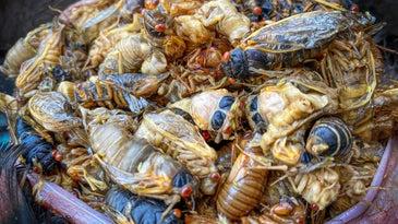 Cicadas will help with a turkey hatch.
