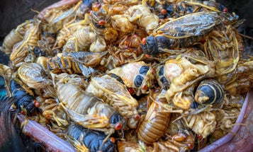 Wild Turkey Boom Expected to Follow Cicada Emergence
