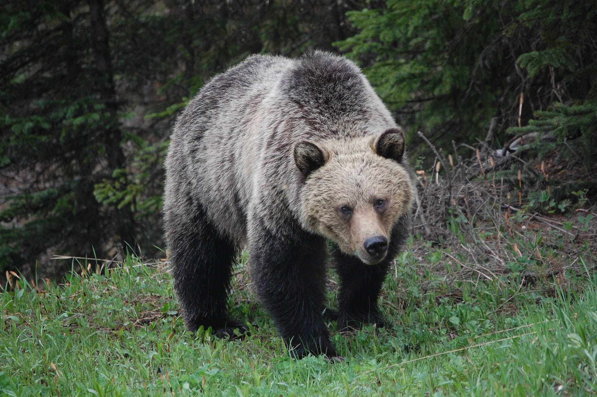 Grizzly bear attack is suspected in the death of an Alberta woman.