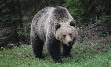 Officials Suspect a Grizzly Bear Attack in the Death of Alberta Woman