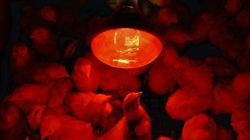 Chicks under a heat lamp