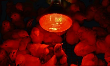 That's Hot: Best Heat Lamp for Brooding Chicks