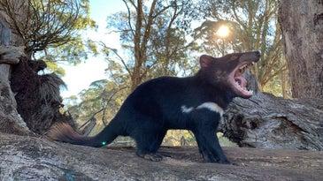 Tasmanian devils could help control feral cats in Australia..