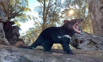 Australia Is Reintroducing Tasmanian Devils, Which May Help with Feral Cat Control