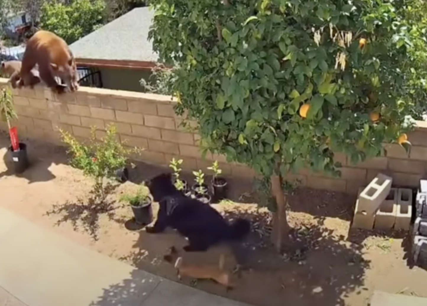 A California black bear holds its ground against a pack of dogs.