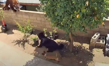 California Teen Pushes Black Bear Off a Wall to Protect Her Dogs