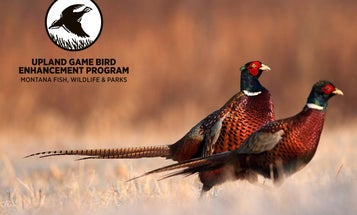 Montana Proposes Pen-Raised Pheasants as a Hunter Recruitment Tool