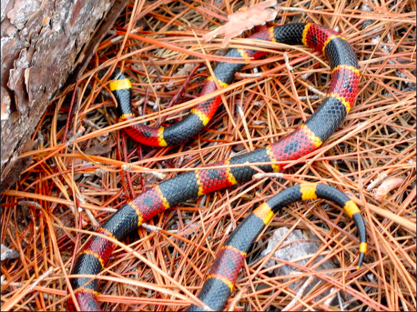 The eastern coral snake is colorful and extremely venimous.