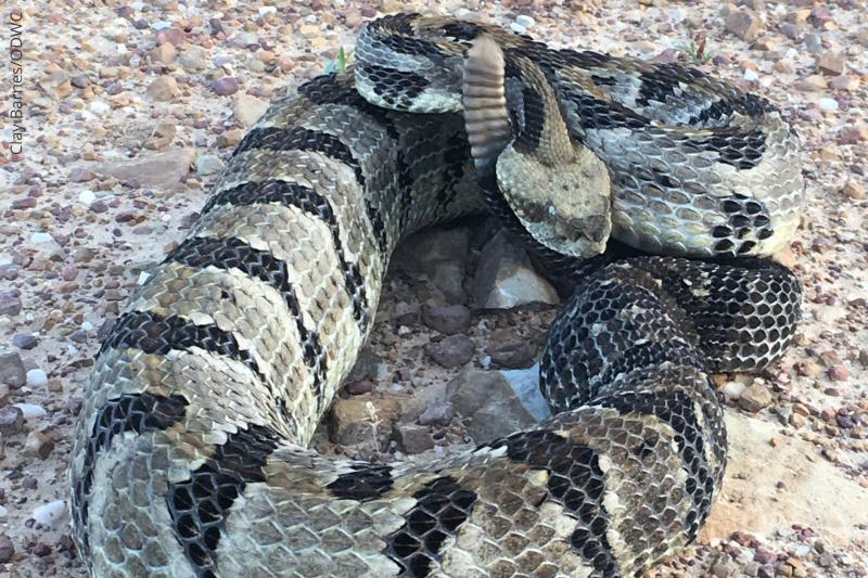 What out for these rattlers when you're in the woods.