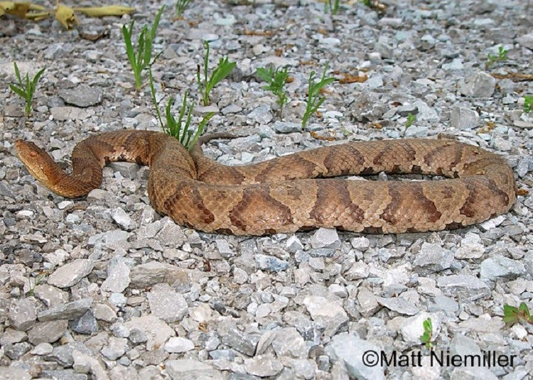 The copperhead can be found in the eastern and southern U.S.
