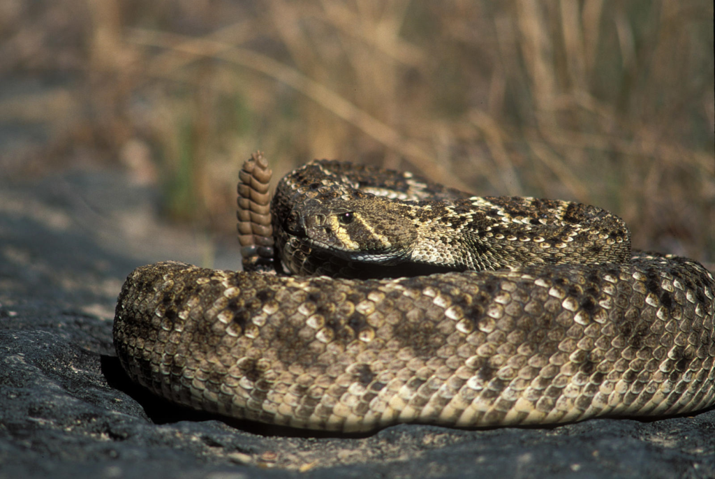 Western diamondbacks are known to have a nasty disposition.