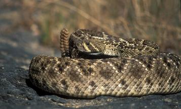 The Most Dangerous, Venomous Snakes in the U.S.