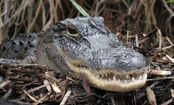 Florida Diver Nearly Killed by Alligator