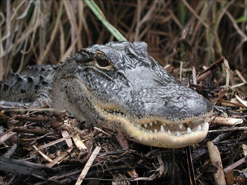 A Florida gator attacked a diver.