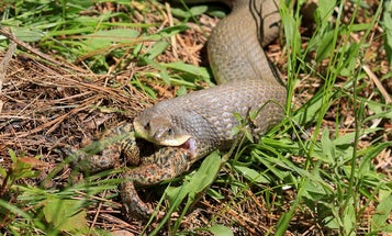 Coolest Photos of the Day: Hognose Snake Devours Toad