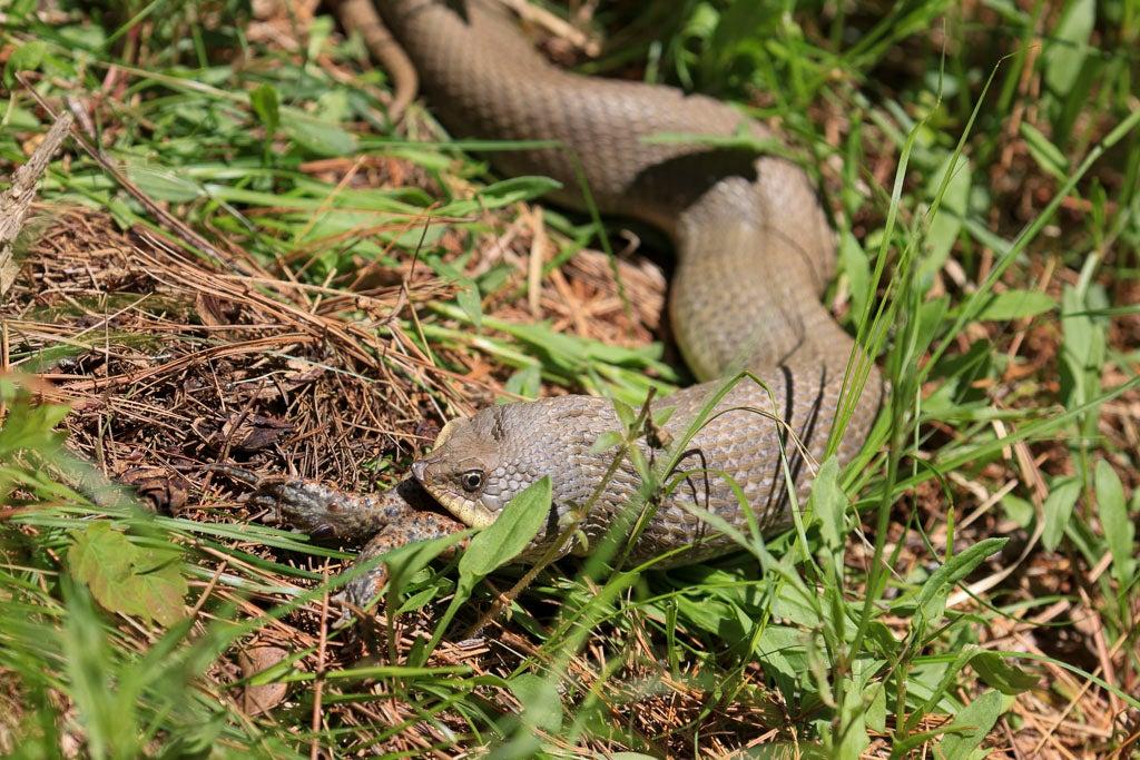 Snake eats toad.