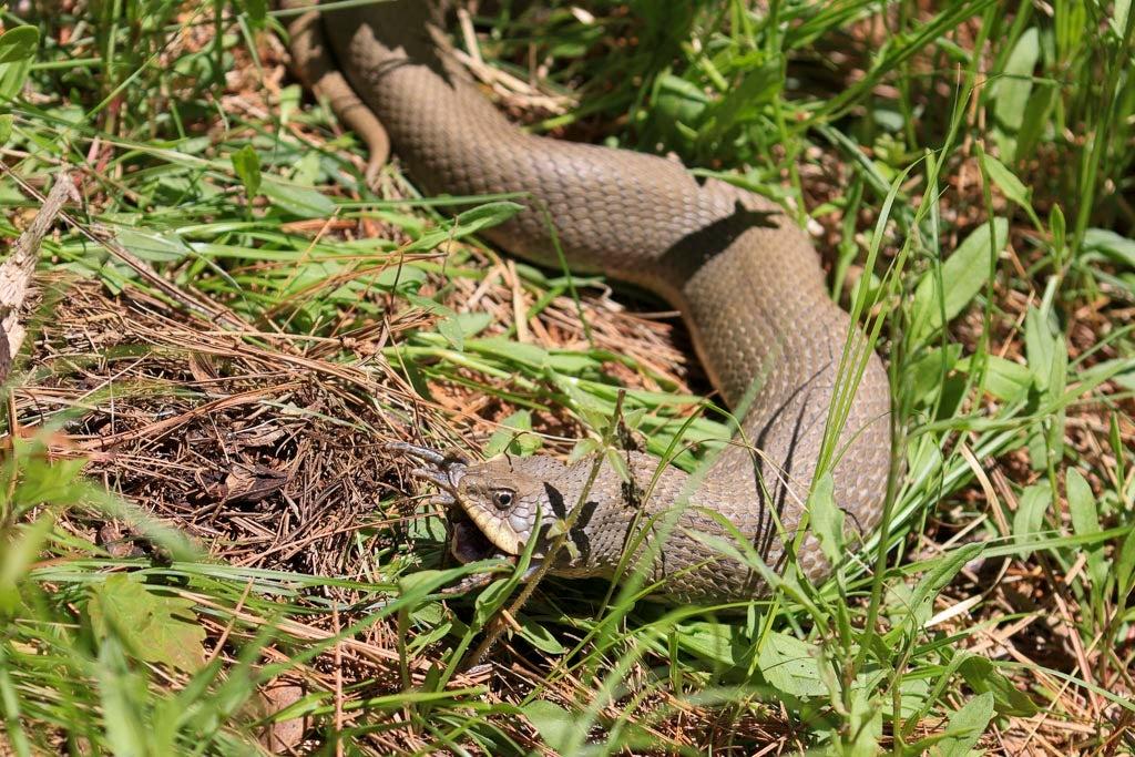 Hognose snake eats toad