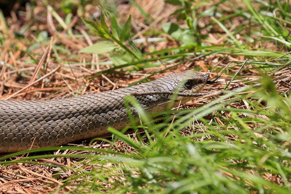 Hognose snake slithers away.