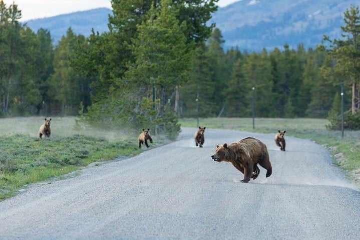 Famous Bear, Grizzly 399, Kills Elk Calf on Camera