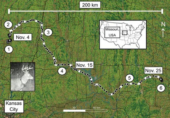 A Rutting Whitetail Buck Traveled Nearly 200 Miles in 22 Days