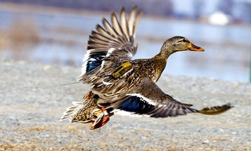 Biologists Can Track Waterfowl Better Than Ever, Thanks to This New GPS Transmitter