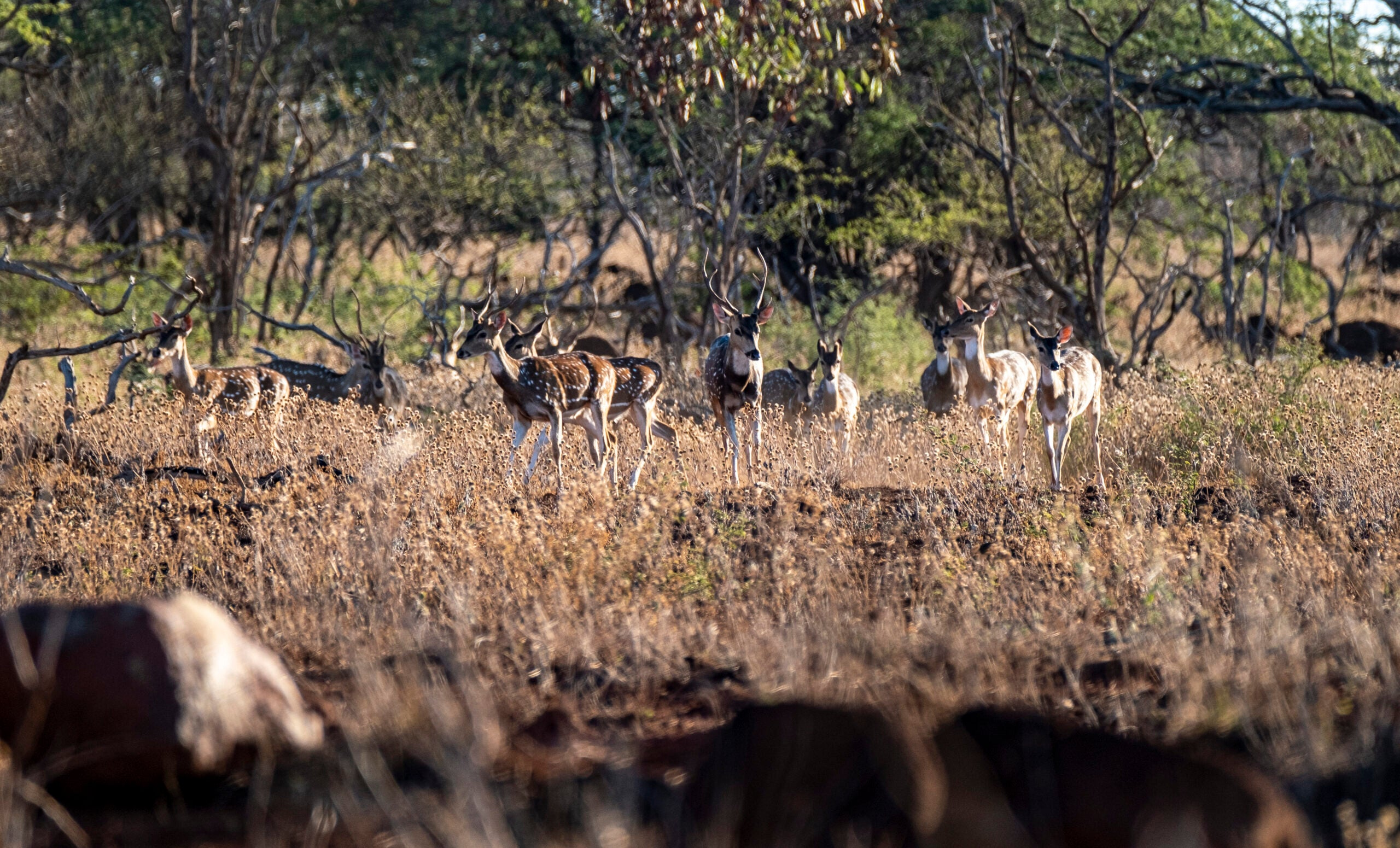 Overpopulated axis deer are ripe for regulated market hunting.