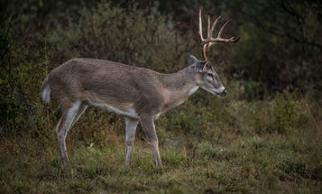 Chronic Wasting Disease Outbreak in Texas Deer Breeding Facilities Could Be a Major Issue for All Deer Hunters