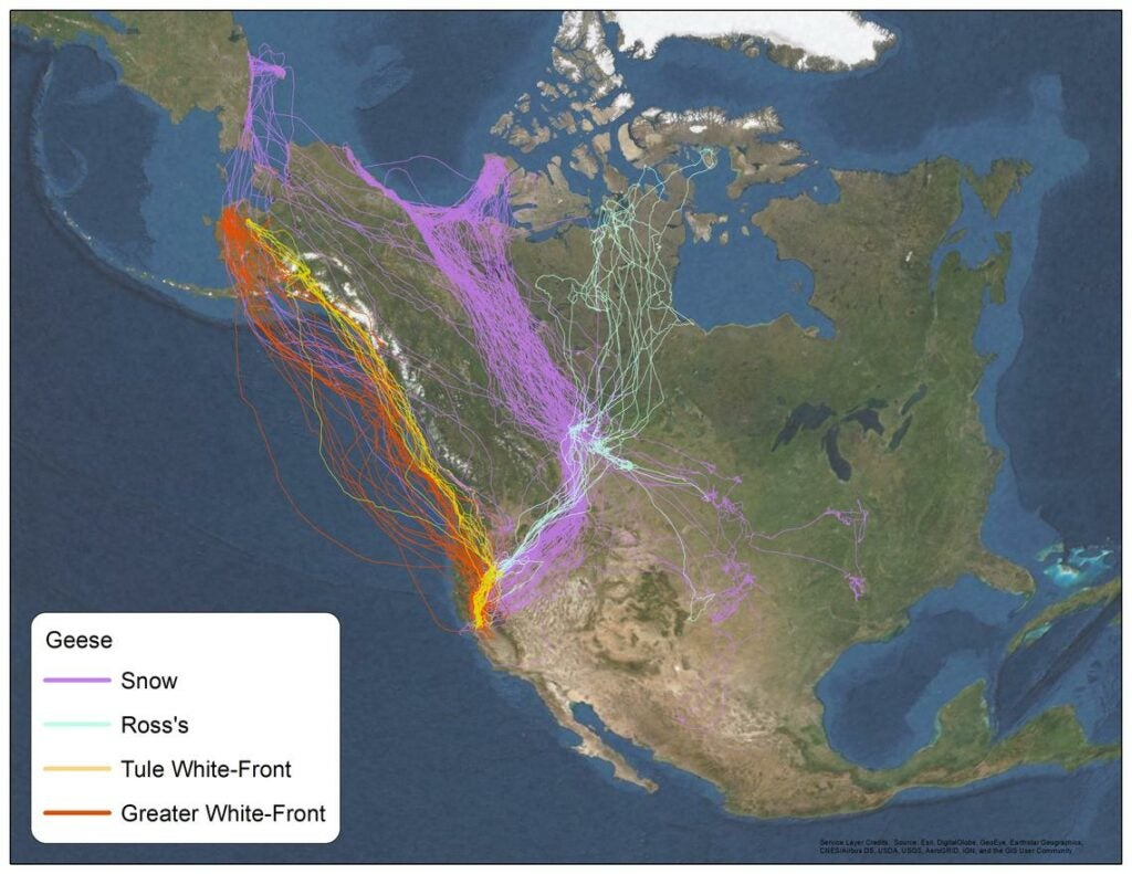Flight patterns for mid-continent and Pacific flyway snows.